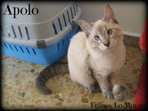 Adoptado-Apolo