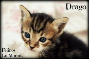 Adoptado-Drago